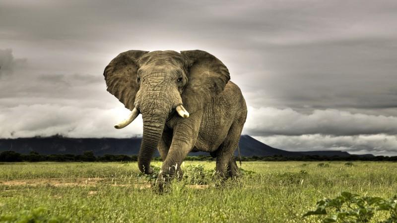 Características generales de los elefantes africanos