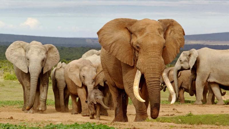 Características generales de los elefantes