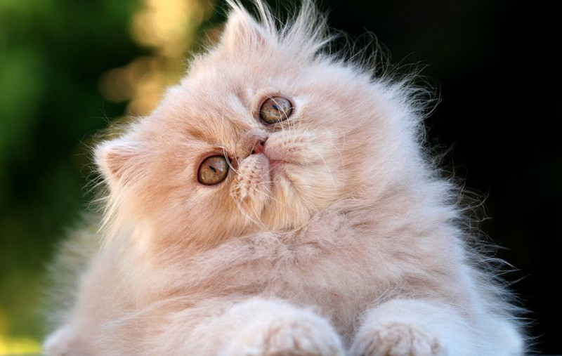 Características generales de los gatos persas