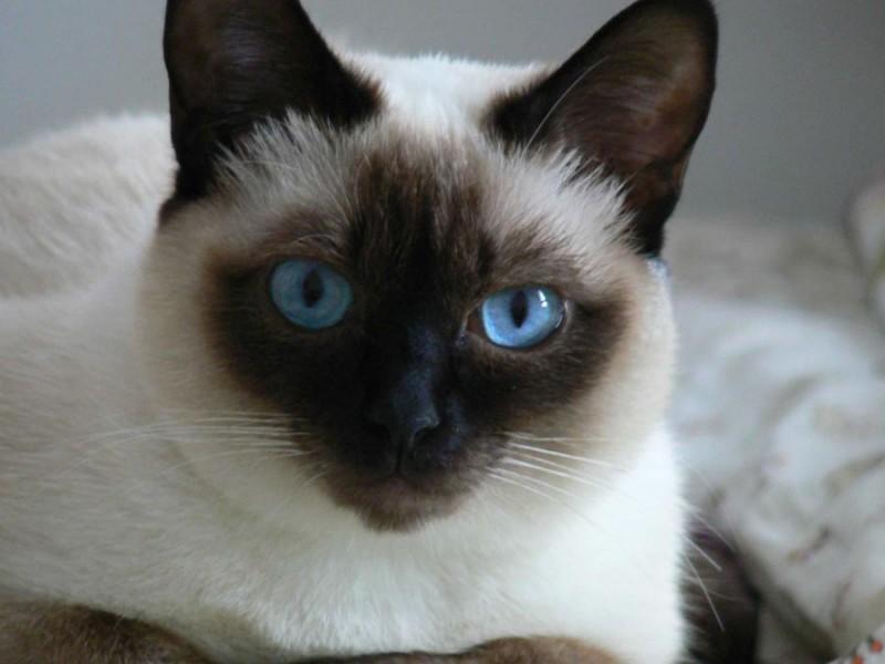 Características generales de los gatos siameses