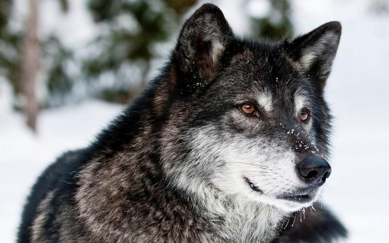 Resultado de imagen de lobos fotos pequeños