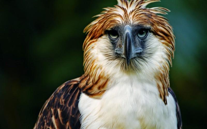 Características generales del águila comemonos