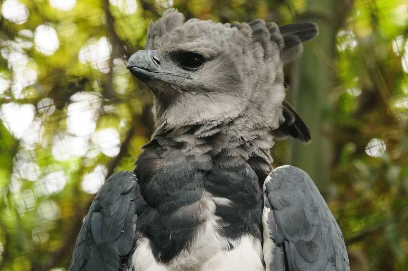 Características generales del águila harpía