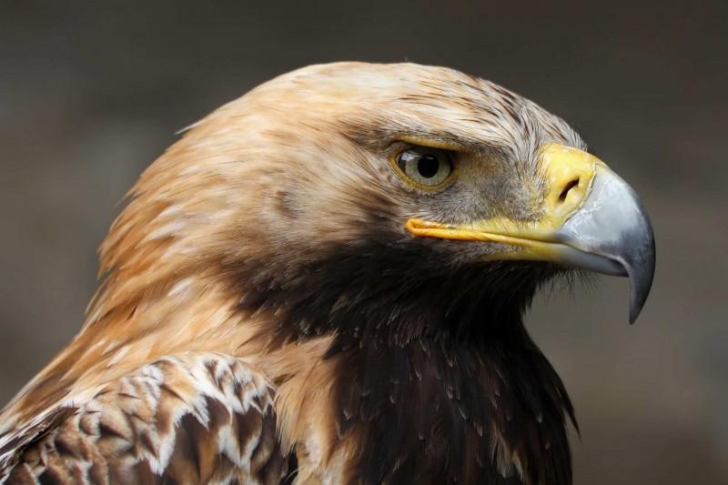 Características generales del águila imperial oriental