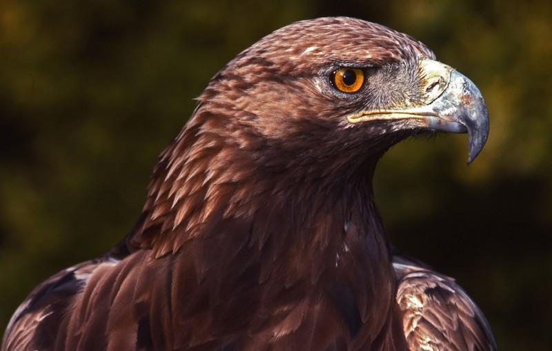 Características generales del águila real