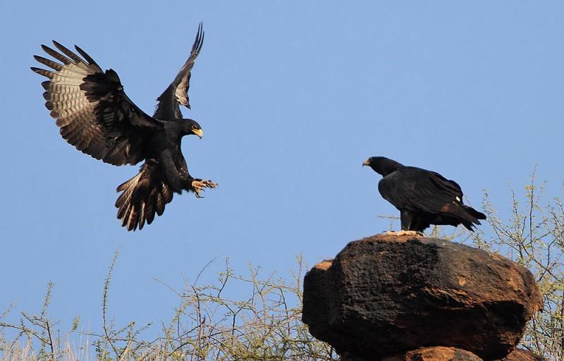Aguila Caracteristicas Que Come Donde Vive Y Tipos De Aguilas