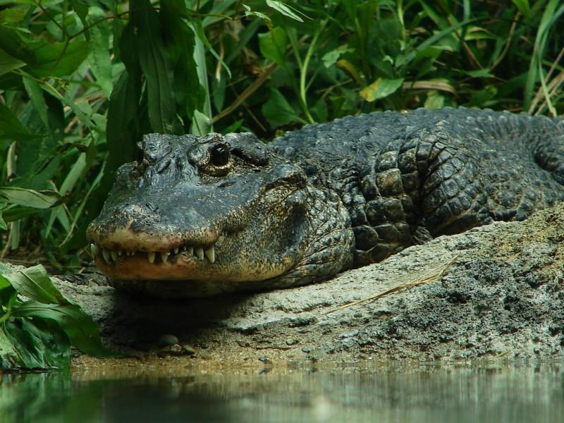 Características generales del aligator chino