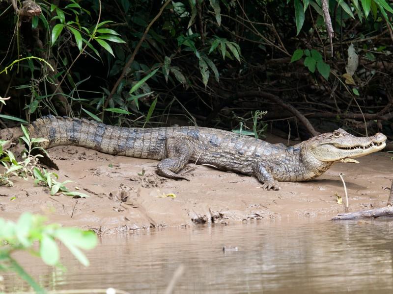 Características generales del caimán de anteojos