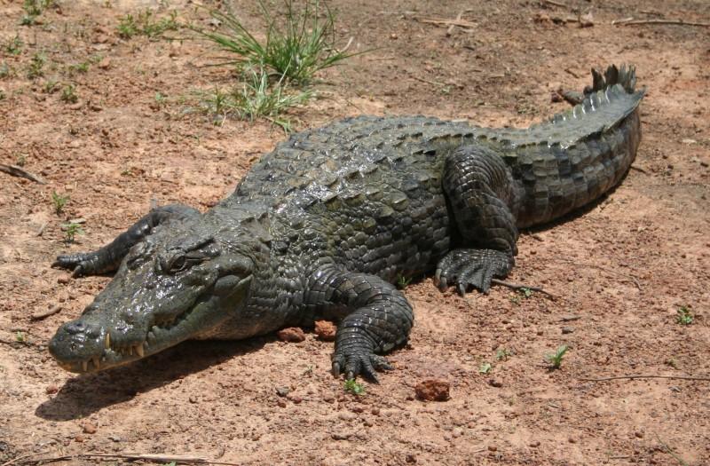 Características generales del cocodrilo del Nilo