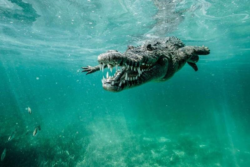 Características generales del cocodrilo marino