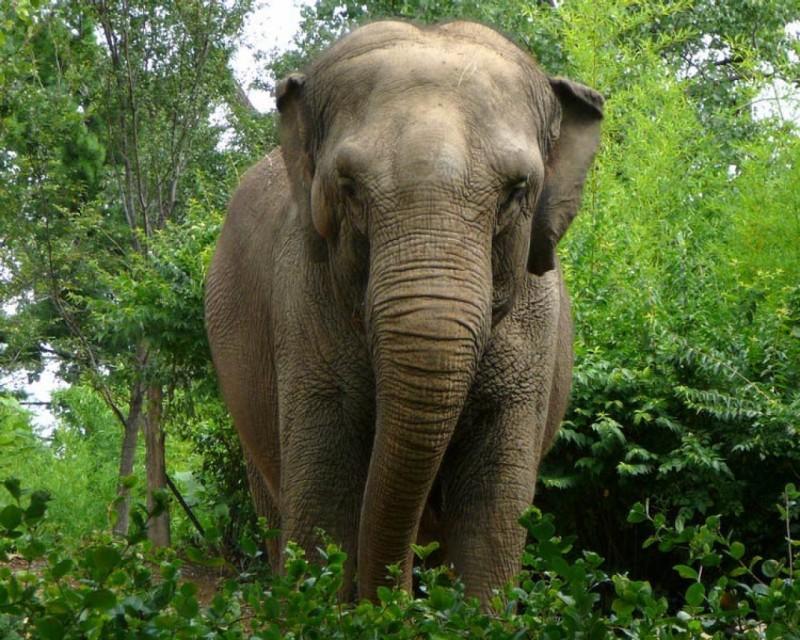 Características generales del elefante asiático