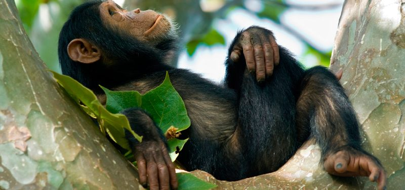 Image result for chimpancé