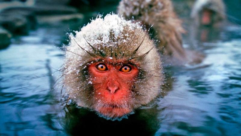Clasificación y evolución de los macacos japoneses