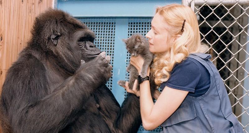 Cómo habla la gorila Koko