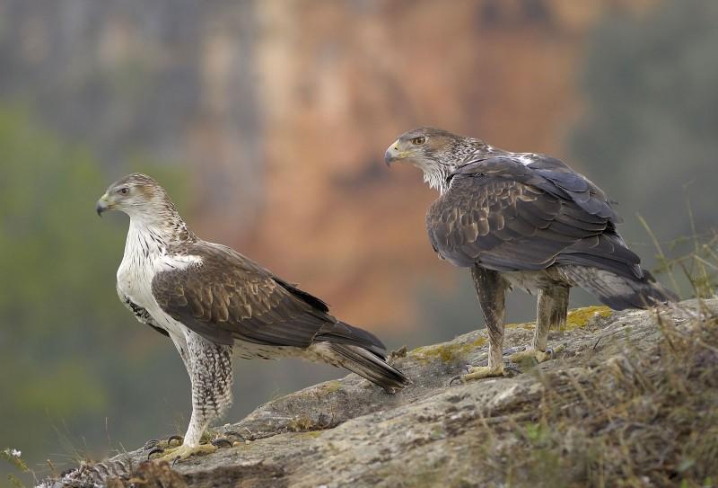 Cómo nacen las águilas perdiceras