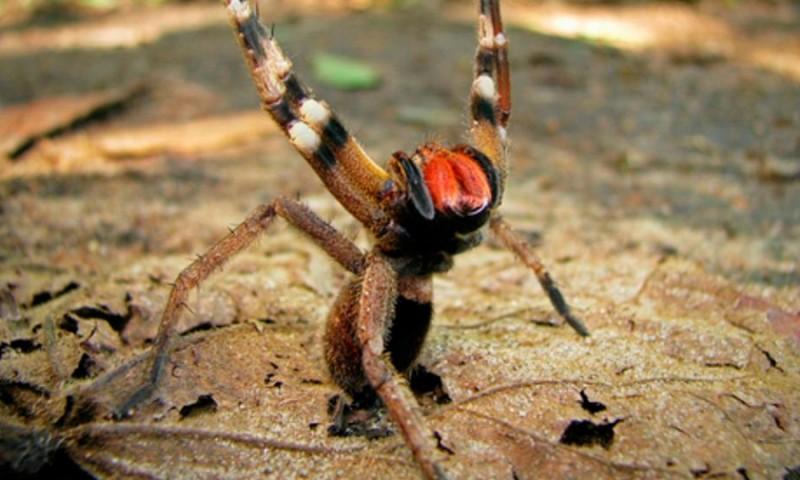 Cómo nacen las arañas bananeras