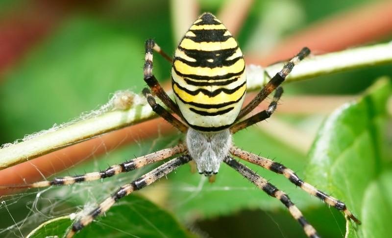 Cómo nacen las arañas tigre