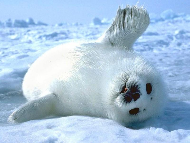 Cómo nacen las focas cangrejeras