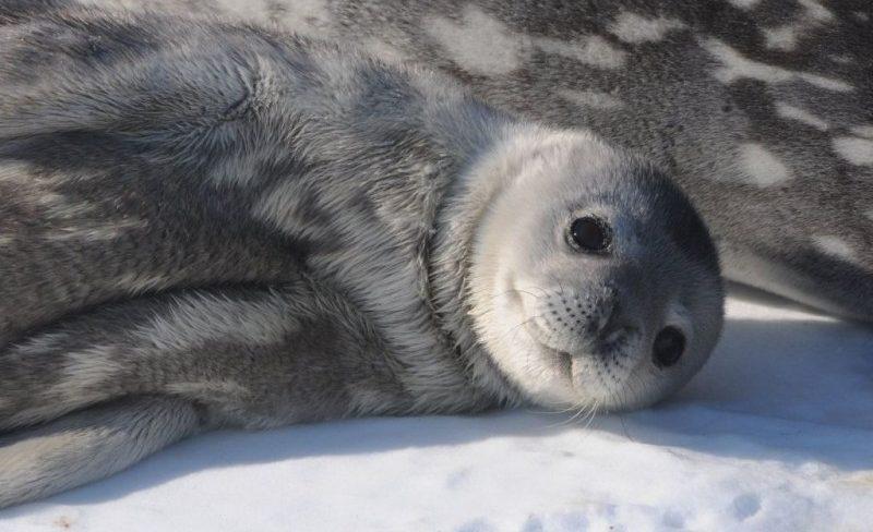 Cómo nacen las focas de Weddell