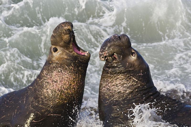 Cómo nacen las focas elefante