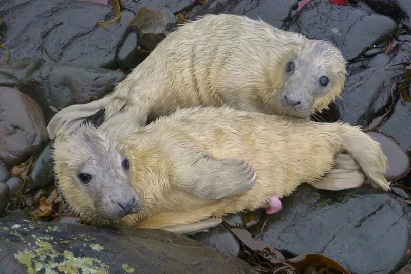 Cómo nacen las focas grises