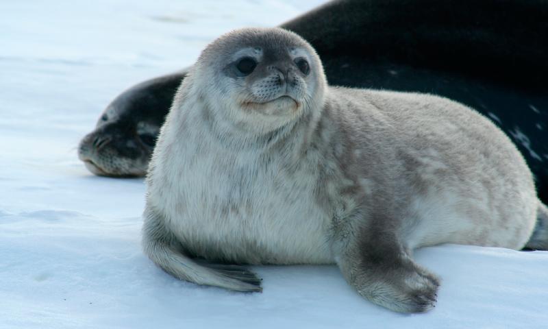 Cómo nacen las focas leopardo