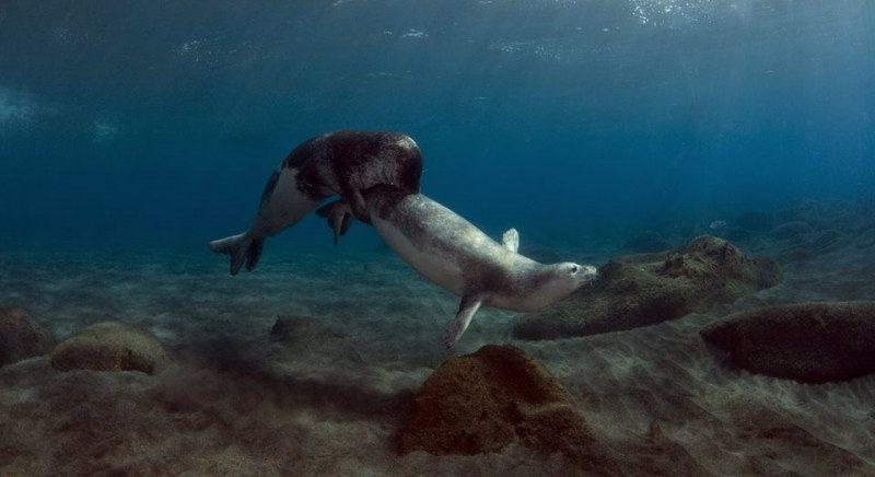 Cómo nacen las focas monje
