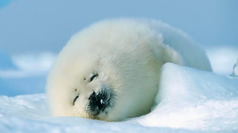Cómo nacen las focas polares