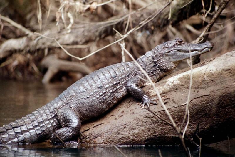 Cómo nacen los caimanes de anteojos