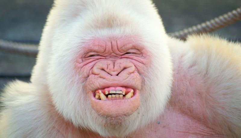Cómo nacen los gorilas albinos