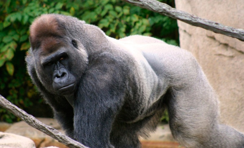 Cómo nacen los gorilas de lomo plateado