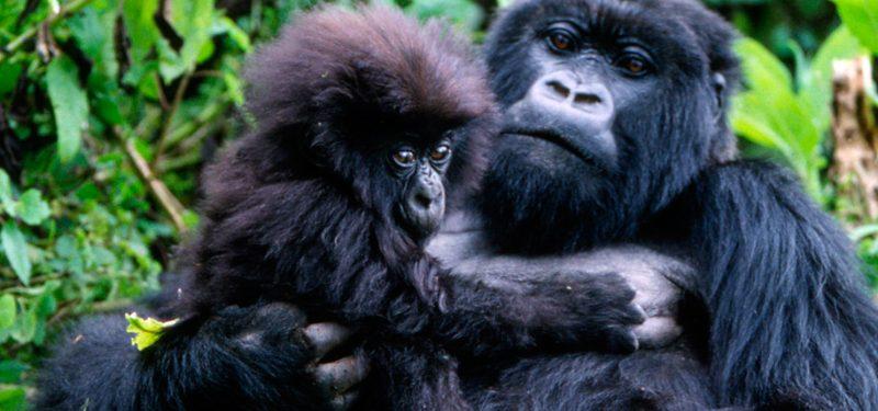 Cómo nacen los gorilas de montaña