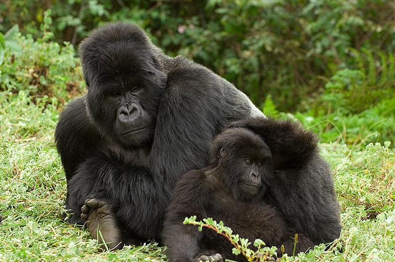 Cómo nacen los gorilas orientales