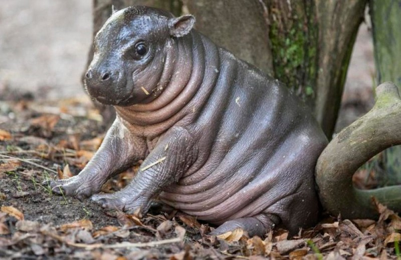 Cómo nacen los hipopótamos pigmeos
