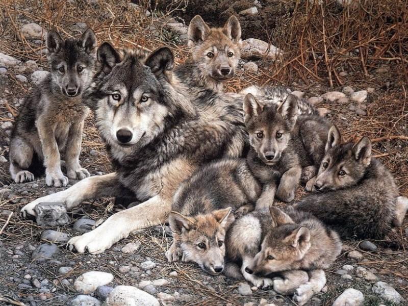Lobo Canis Lupus Tipos De Lobos Qué Comen Dónde Viven