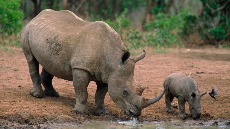 Cómo nacen los rinocerontes