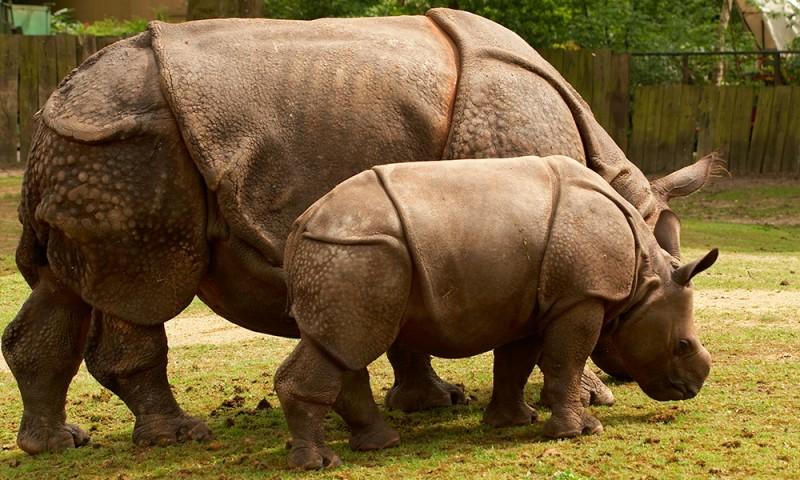 Cómo nacen los rinocerontes de Java