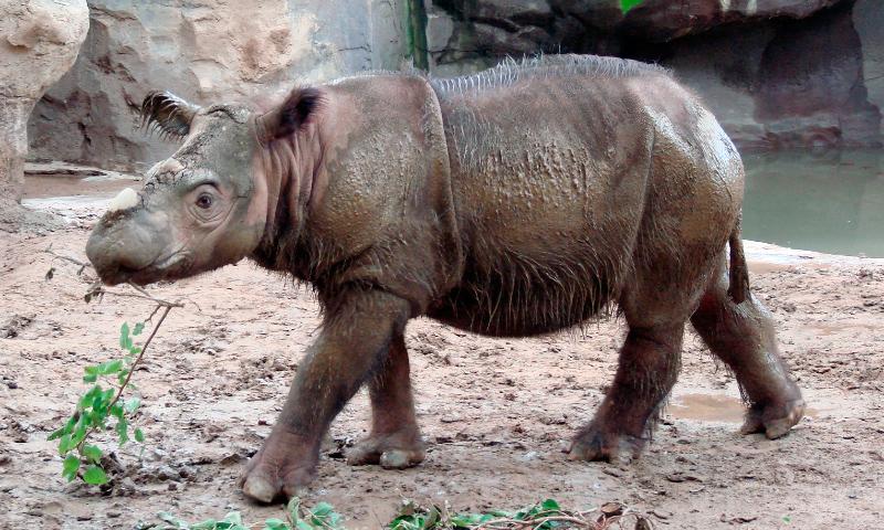 Cómo nacen los rinocerontes de Sumatra