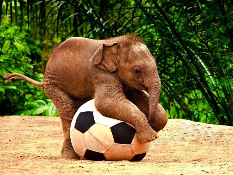 Cómo se comportan los bebés elefantes