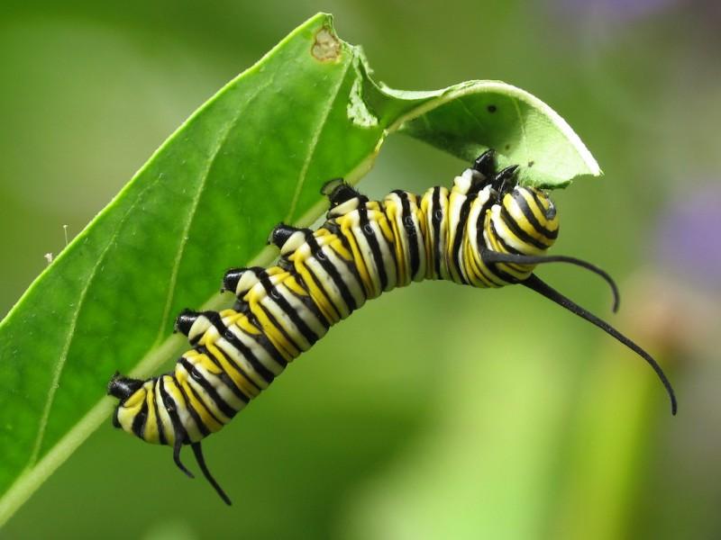 Cómo se defienden las mariposas monarca