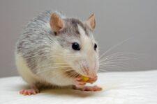 Cómo se llama el miedo a los ratones y qué es