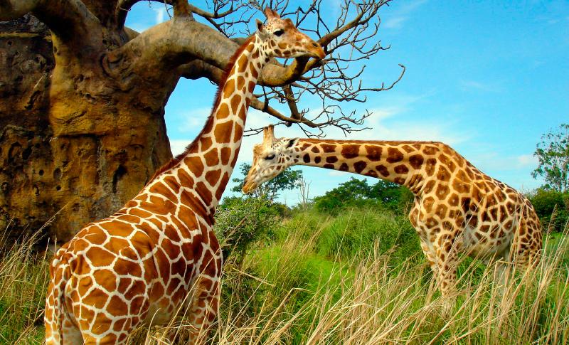 Jirafa caracter sticas tipos qu comen d nde viven for Taxonomia de la jirafa