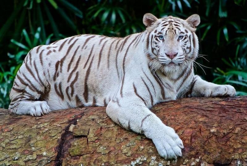¿Cómo son los tigres blancos?