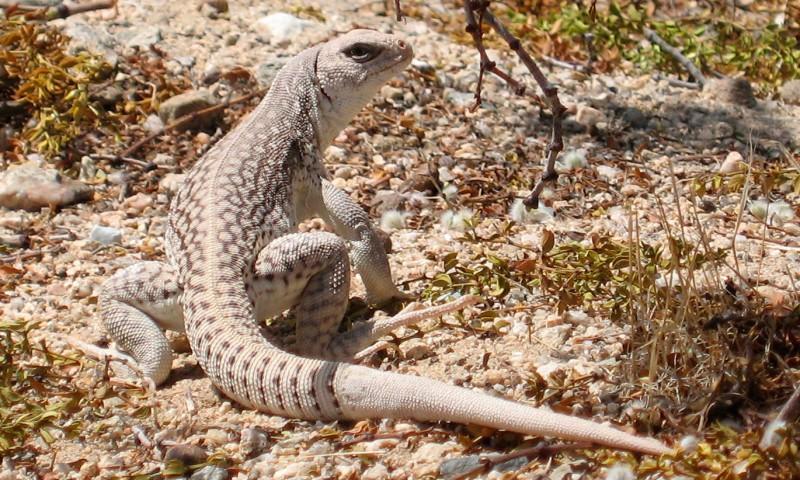 Comportamiento de la iguana del desierto