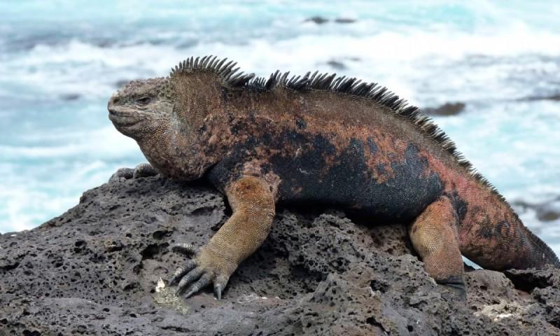Comportamiento de la iguana marina de galápagos