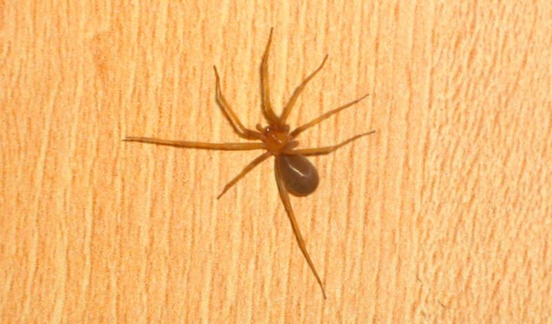 Comportamiento de las arañas violinistas o del rincón