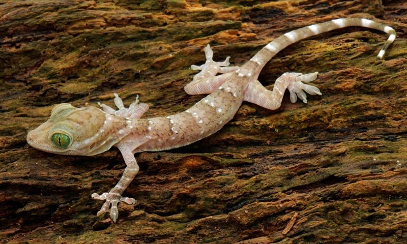 Comportamiento de los geckos