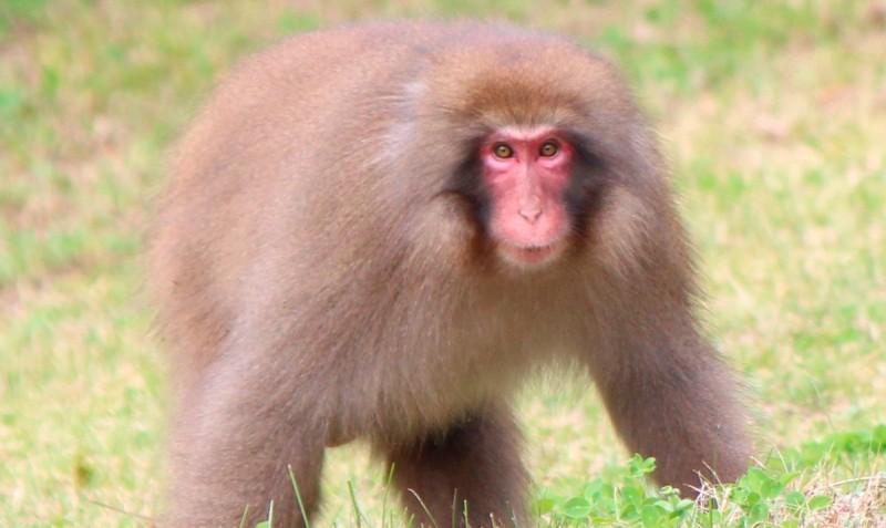 Comportamiento de los macacos japoneses