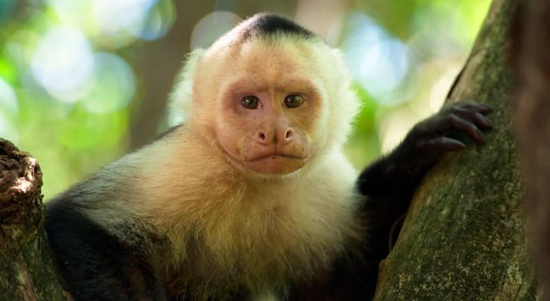 Comportamiento de los monos capuchinos