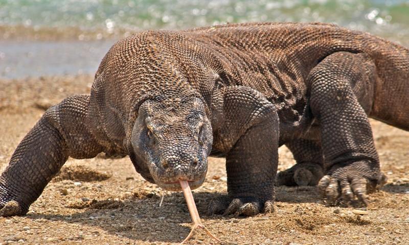 Comportamiento del dragón de Komodo